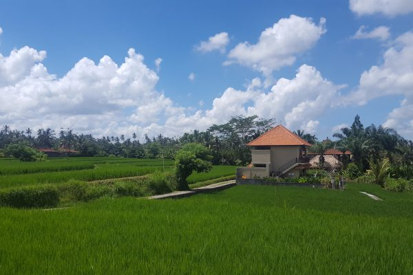 Reisfelder von Ubud