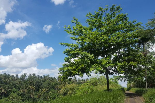 Alles grünt, in Ubud
